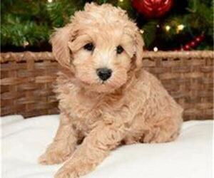 Schnoodle (Miniature) Puppy for sale in CHICAGO, IL, USA