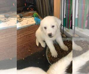 Great Pyrenees Puppy for sale in SCIO, OH, USA
