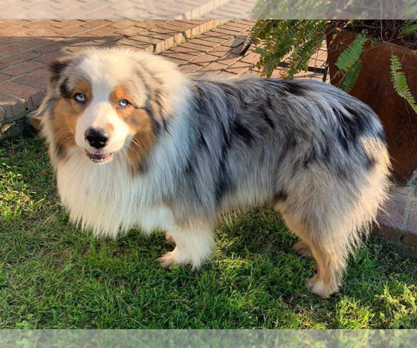 Medium Photo #3 Australian Shepherd Puppy For Sale in OPELOUSAS, LA, USA