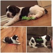 English Springer Spaniel Puppy For Sale in FAYETTEVILLE, TX,