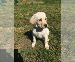 Labrador Retriever Puppy for sale in GLEN MARY, TN, USA