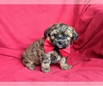 Small #5 Poodle (Miniature)-Shorkie Tzu Mix