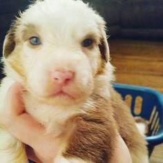 Australian Shepherd Puppy for sale in PAXTON, MA, USA