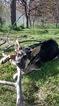 German Shepherd Dog Puppy For Sale in KENNEWICK, WA