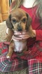 Dachshund Puppy For Sale in SPRINGVILLE, NY, USA