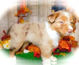 Australian Shepherd Puppy for Sale in HAMMOND, Indiana USA