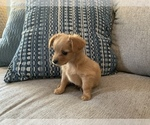 Small #4 Chiweenie