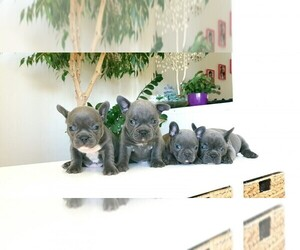 French Bulldog Puppy for sale in ARMONK, NY, USA