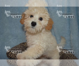 Bichpoo Puppy for sale in SANGER, TX, USA