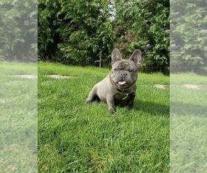 Father of the French Bulldog puppies born on 05/27/2021