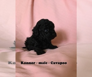 Cavapoo Puppy for Sale in CLARKRANGE, Tennessee USA