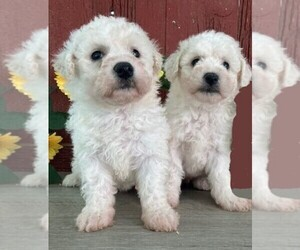 Bichon Frise Puppy for sale in BONDUEL, WI, USA