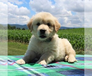 English Cream Golden Retriever Puppy for sale in WAYNESBORO, PA, USA