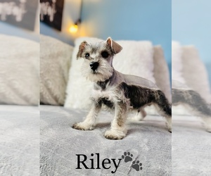 Schnauzer (Miniature) Puppy for sale in COOKEVILLE, TN, USA
