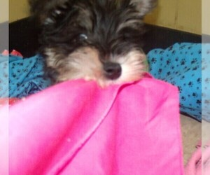 Schnauzer (Miniature) Puppy for sale in PATERSON, NJ, USA