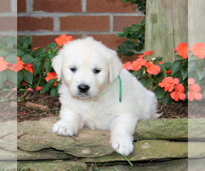 English Cream Golden Retriever Dog for Adoption in NEW PROVIDENCE, Pennsylvania USA