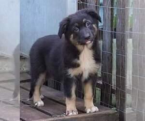 Australian Shepherd-German Shepherd Dog Mix Dog for Adoption in RIDGELAND, South Carolina USA