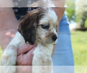 Cocker Spaniel Puppy for Sale in WILEY, Colorado USA