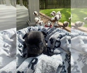 French Bulldog Puppy for sale in DARDANELLE, AR, USA