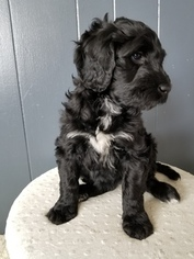 Double Doodle Puppy For Sale in STRATFORD, WI, USA