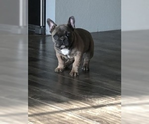 French Bulldog Puppy for Sale in RIVERSIDE, California USA