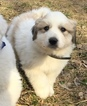 CKC Great Pyrenees Puppies
