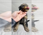 Small #2 Goldendoodle