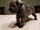 Schnauzer (Miniature) Puppy For Sale in SARASOTA, FL, USA