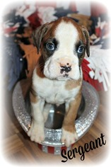 Boxer Puppy For Sale in CLAYTON, NJ