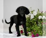 Puppy 2 Australian Retriever