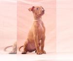 Puppy 9 Pharaoh Hound