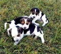Beagle Puppy For Sale in GILBERT, AZ, USA