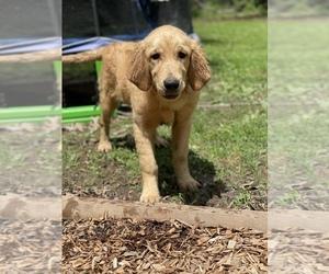 Golden Retriever Puppy for sale in BENTON, IL, USA