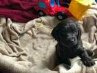 Boykin Spaniel Puppy For Sale in COLONIAL HEIGHTS, VA, USA
