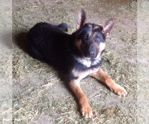 Mother of the German Shepherd Dog puppies born on 06/01/2020