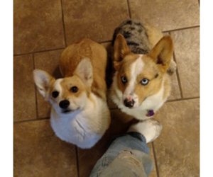 Father of the Pembroke Welsh Corgi puppies born on 02/22/2019