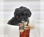 Small #1 Bernedoodle