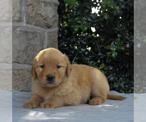 Golden Retriever Dog for Adoption in NARVON, Pennsylvania USA