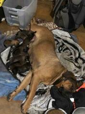 Mother of the Mastiff puppies born on 11/17/2018