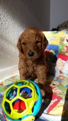 Poodle (Standard) Puppy For Sale in WEST SACRAMENTO, CA