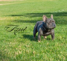 Father of the French Bulldog puppies born on 12/16/2018