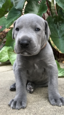 Great Dane Puppy For Sale in OKLAHOMA CITY, OK, USA