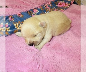 Pomeranian Puppy for sale in BANKS SPRINGS, LA, USA