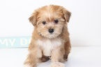 Morkie Puppy For Sale in NAPLES, FL, USA