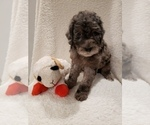 Small #8 Goldendoodle-Sheepadoodle Mix