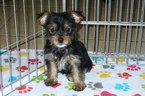 Yorkshire Terrier Puppy For Sale in TUCSON, AZ,
