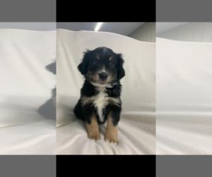 Miniature Australian Shepherd Puppy for sale in MC COOK, NE, USA