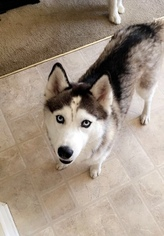 Medium Siberian Husky