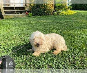 Maltese Dog for Adoption in LANCASTER, Pennsylvania USA