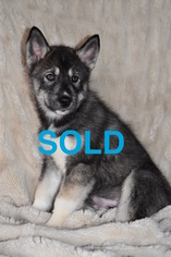 Siberian Husky Puppy For Sale in MOUND CITY, KS, USA